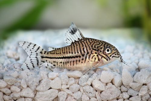 グッピー コリドラス 混泳 餌 水温 水草 つつく