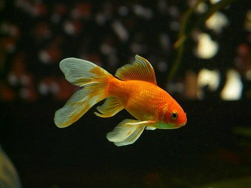 グッピー 金魚 混泳