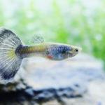 グッピーの品種や尾ひれの種類は?グッピー稚魚のオスとメスの選別の方法について
